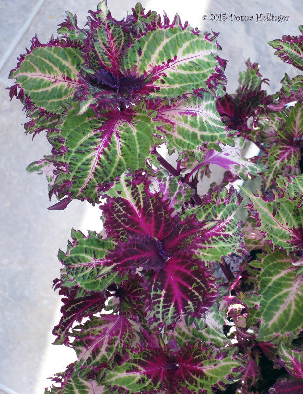 Coleus saved from last years garden