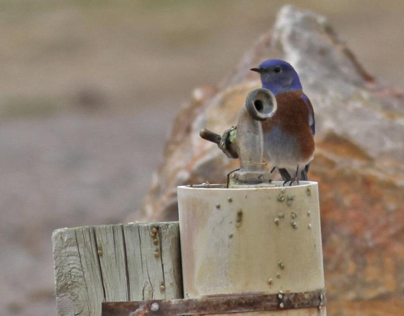 Western Bluebird at a Spigot