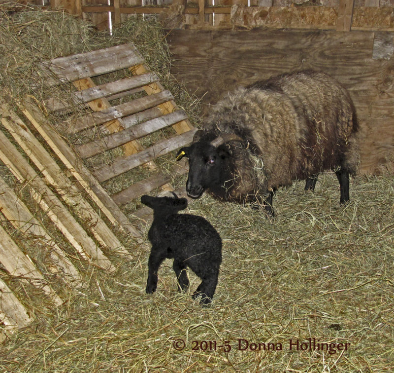 Windy Hill Farm Baby Sheep With Mum