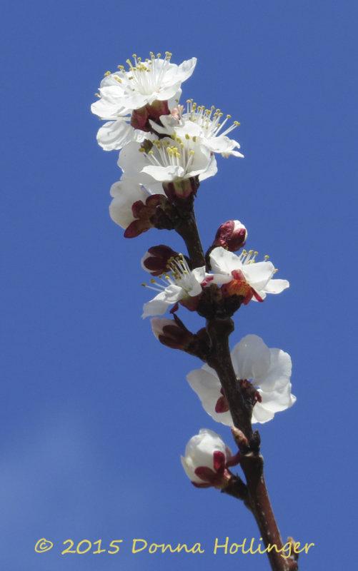 Apricot Blossoms Next  Door