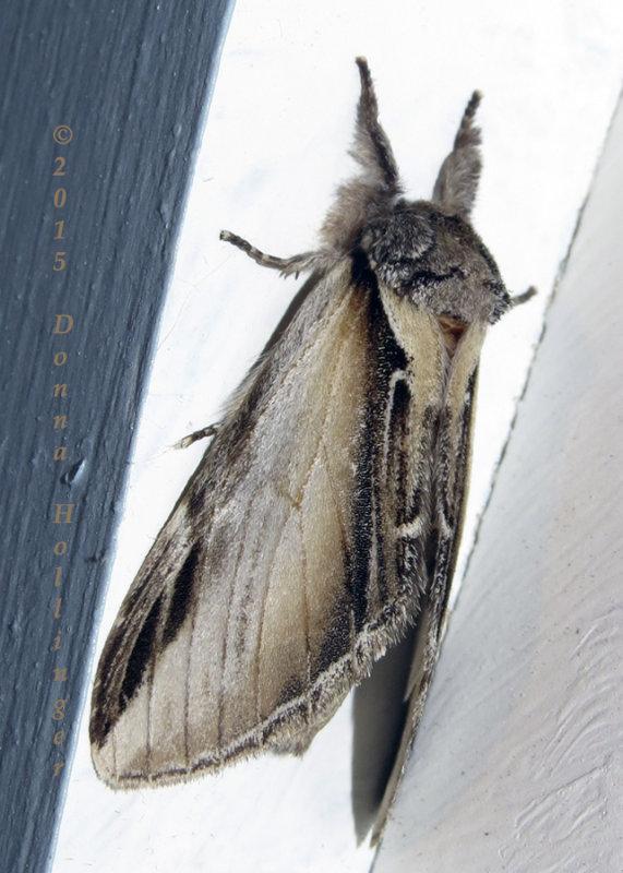 Black Rimmed Prominent ( Pheosia rimosa)