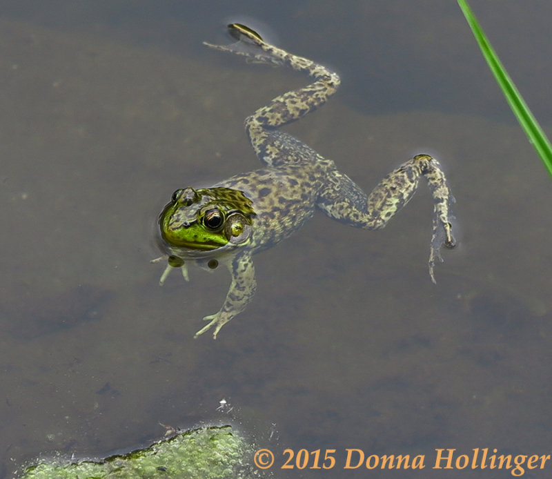 Greenfrog in the Pond