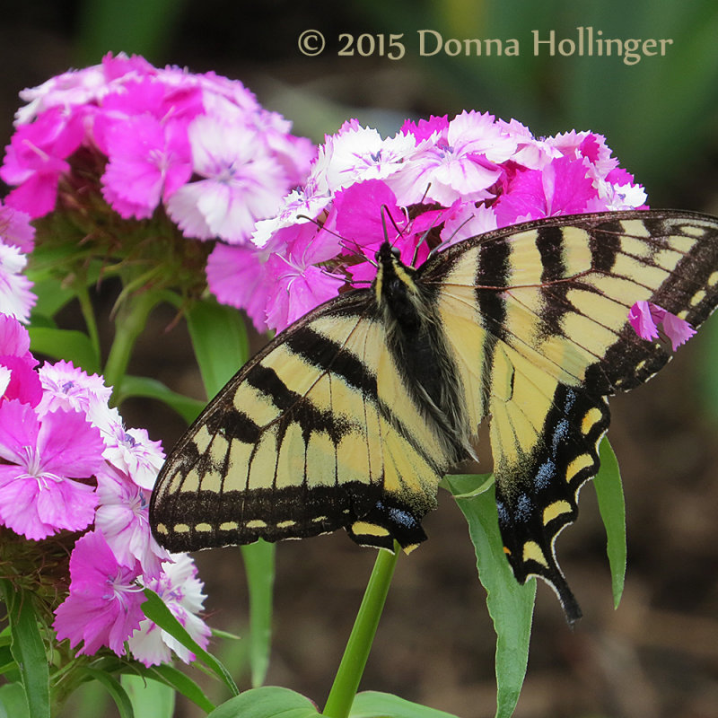 Poor Swallowtail!