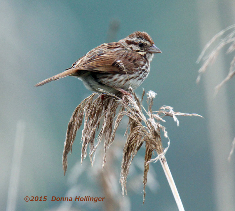 Swamp Sparrow on Phragmites