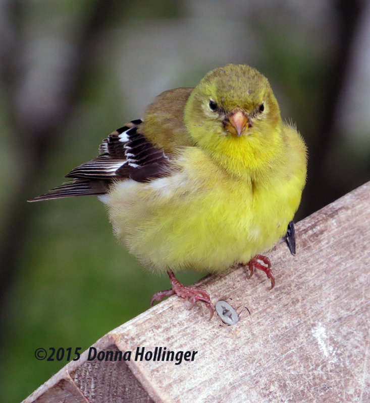 Immature Goldfinch