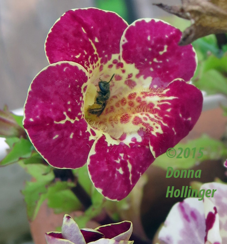Mimulus Flower with a Bee