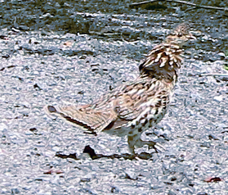 A Ruffed Grouse On My Dirt Road