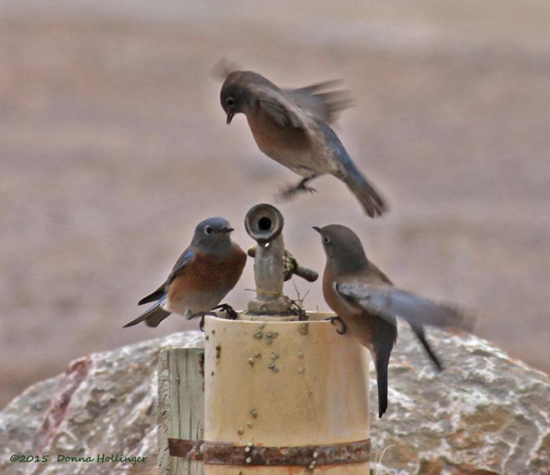 Three Western Bluebirds at a Spigot
