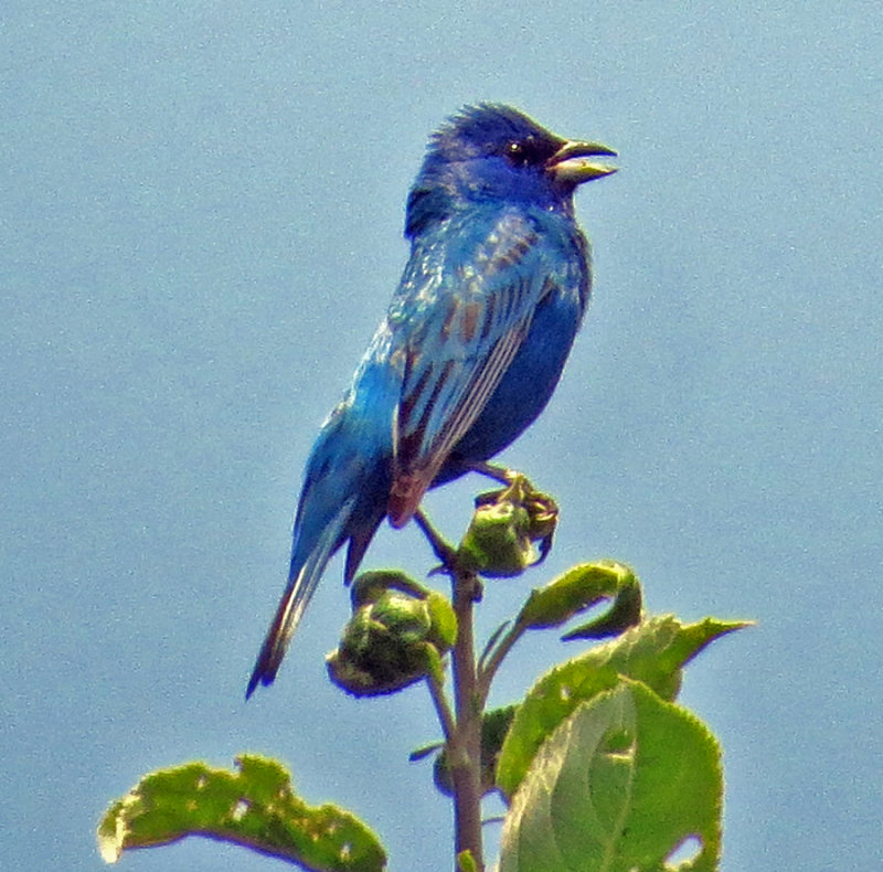 Male Indigo Bunting Singing