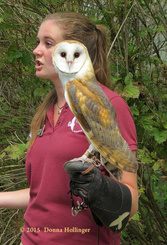 Hes a beautiful Barn Owl
