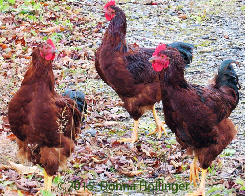 Three Roosters
