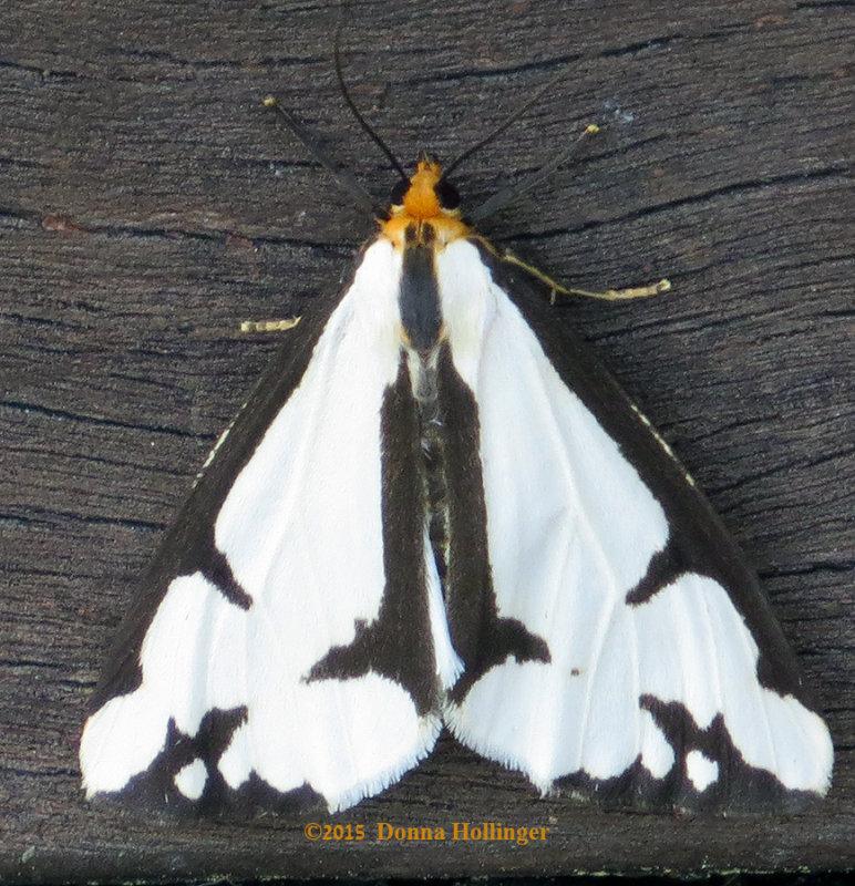Haploa Moth