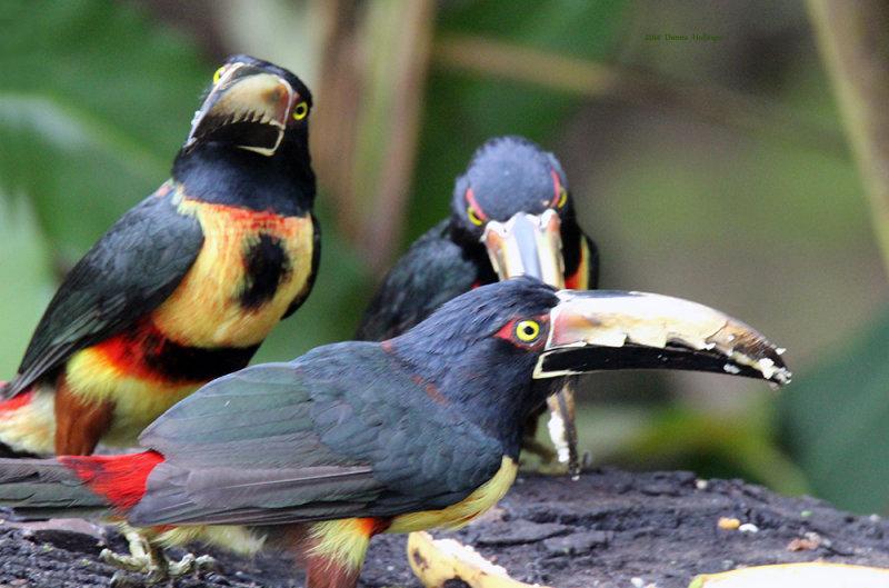 Three Collared Aracaris