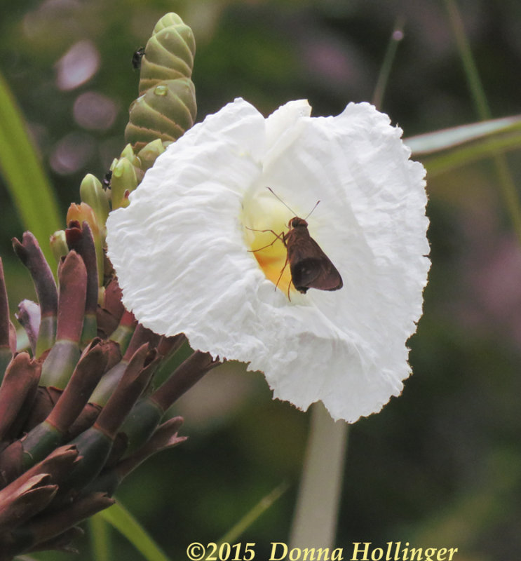 Skipper in this orchid