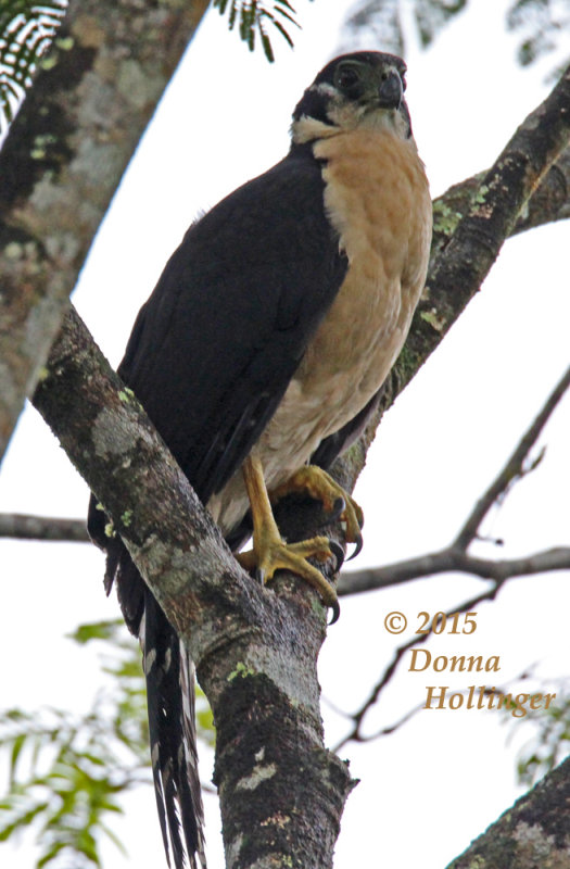 Pale-morph adult Collared Forest-Falcon (buff)