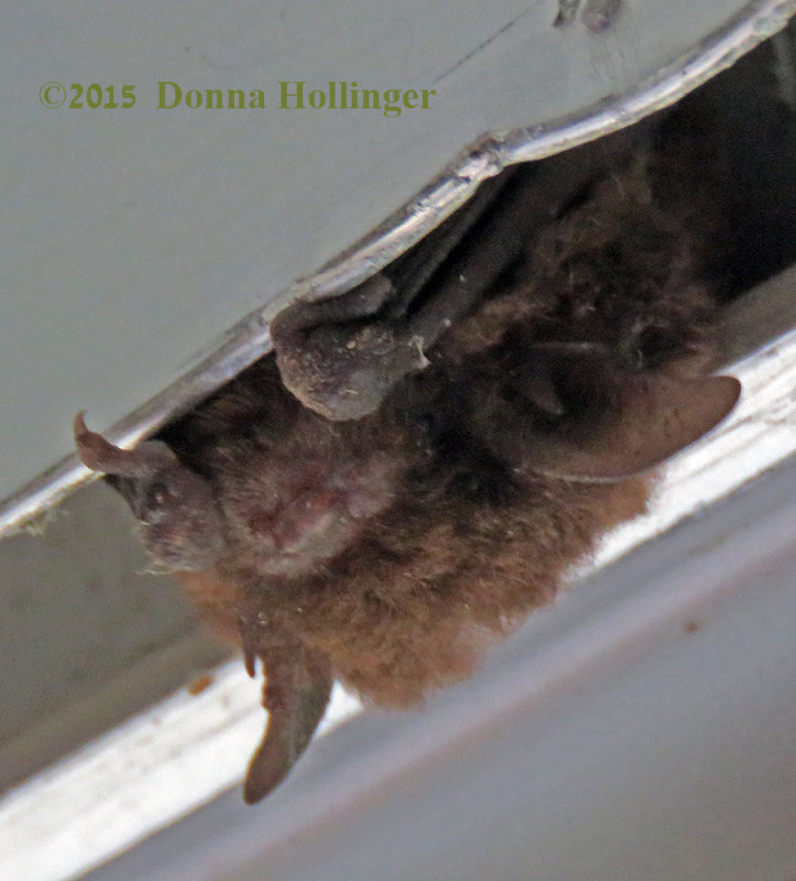 A Little Brown Bat