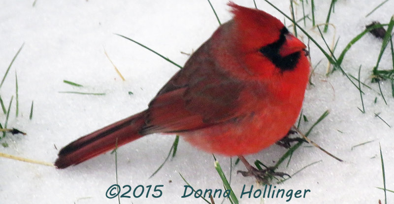 Male Cardinal Foraging in the Back Yard