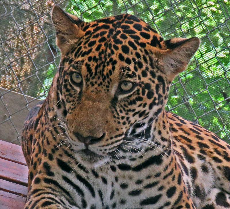 A Closeup of Fiona (Jaguar) at the APPCPANAMA.ORG