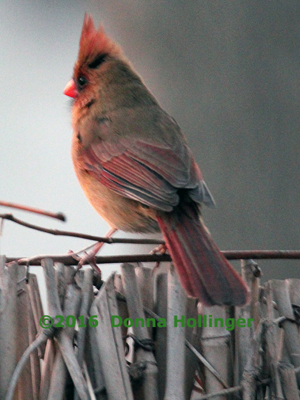 Winter Evening Half Light, Female Cardinal