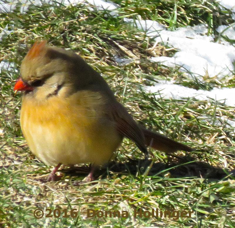 Female immature Cardinal Foraging