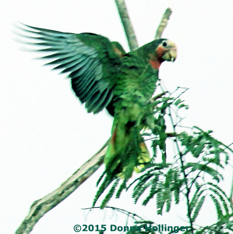 Cuban Parrot Landing at Dusk