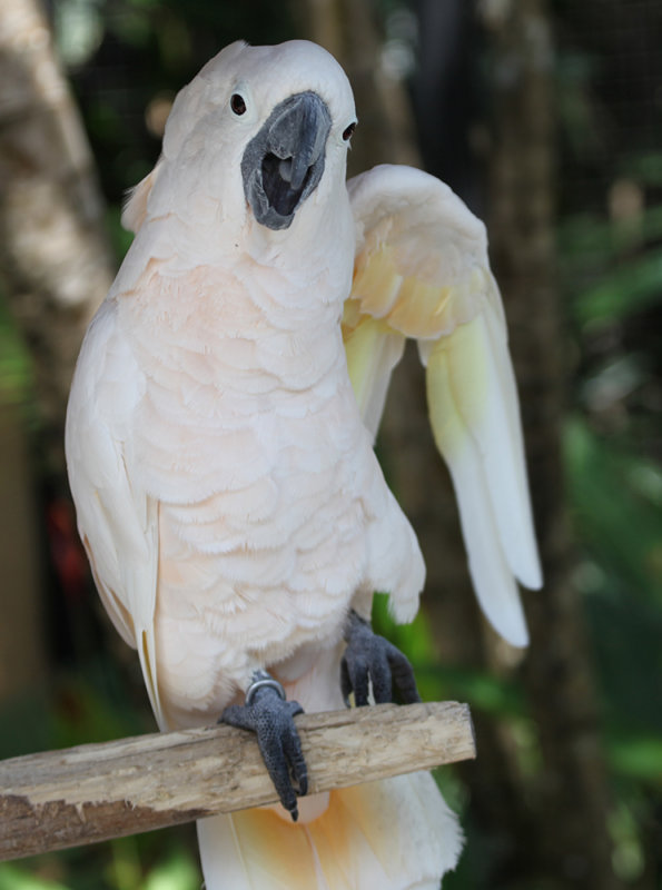 The Exuberant Cockatoo