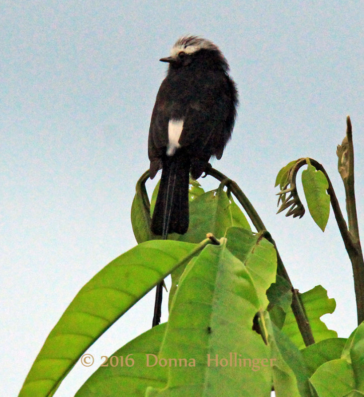 LongTailed Flycatcher