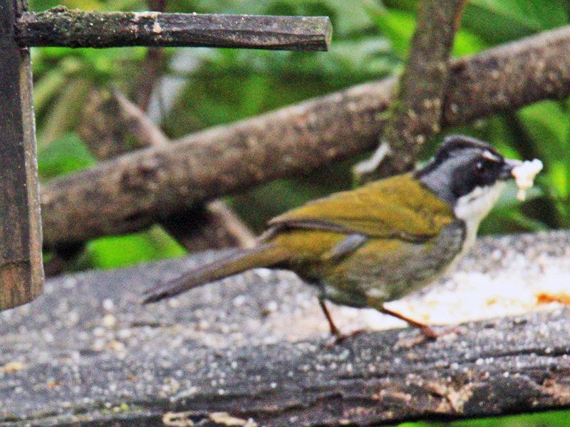 Streaked - headed Brush-Finch
