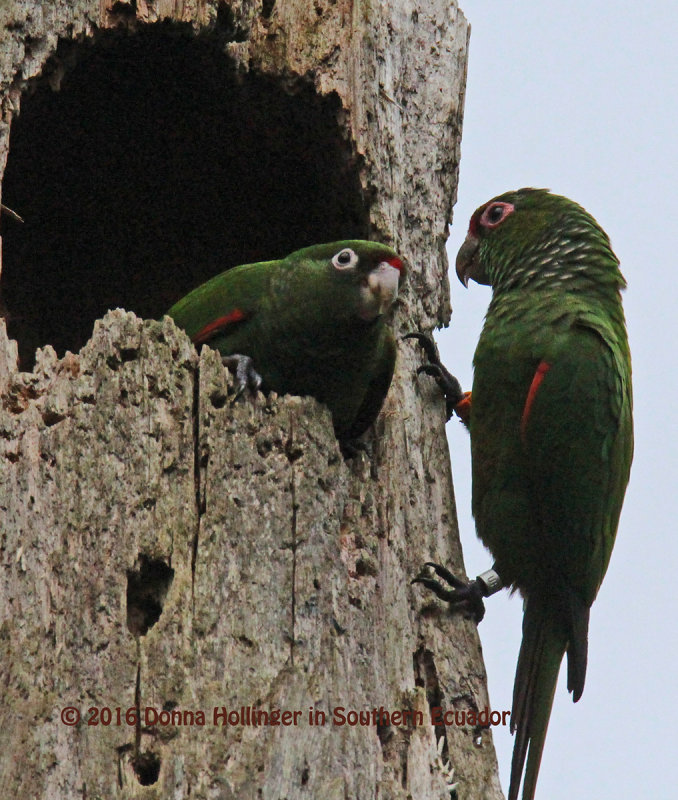 Mother and immature El Oro Parakeets