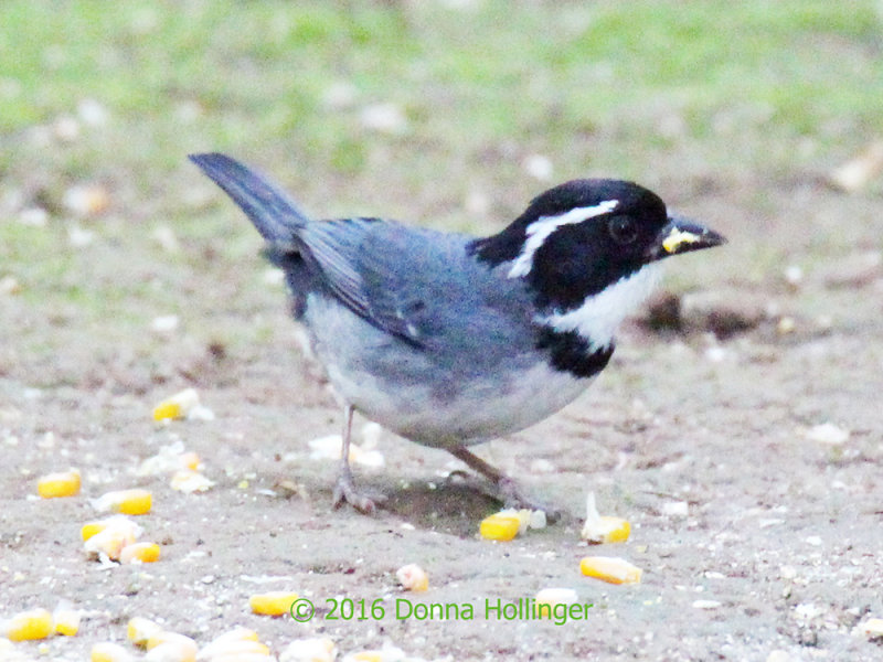 Black Capped Sparrow eating corn and getting it all over his beak!