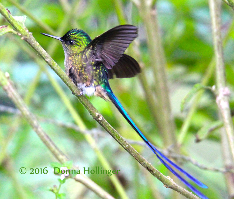 Violet-tailed Sylph taking off