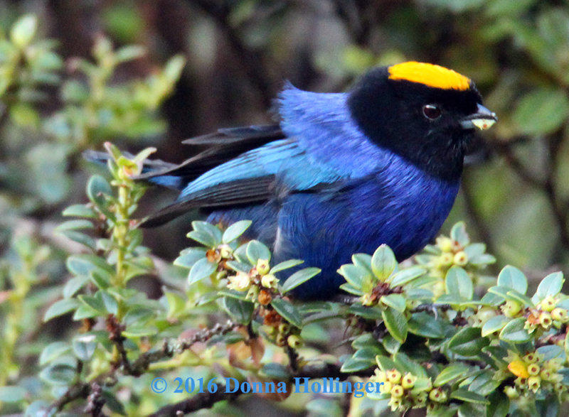 Golden - Crowned Tanager Eating fig fruits