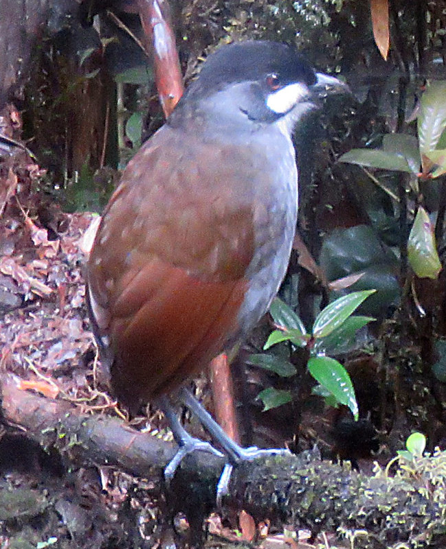 Joco Toco Antpitta eats worms