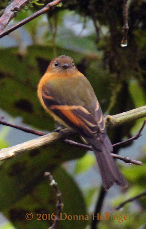 Cinnamon Flycatcher,  Pyrrhomyias cinnomomea