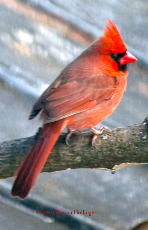 Male Cardinal on My Neighbors Garage Roof