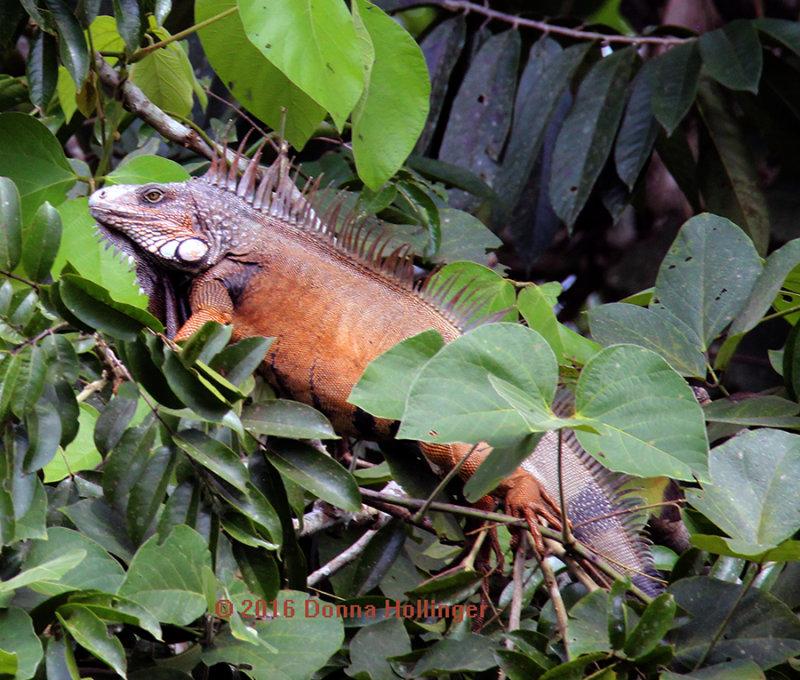 900.iguana.3234.copy.jpg