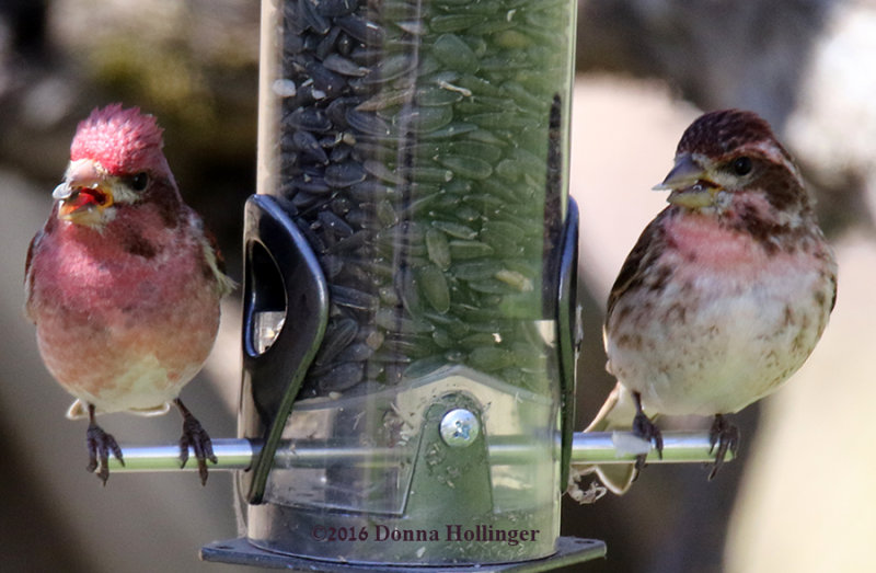 Pair of Purple Finches Feeding