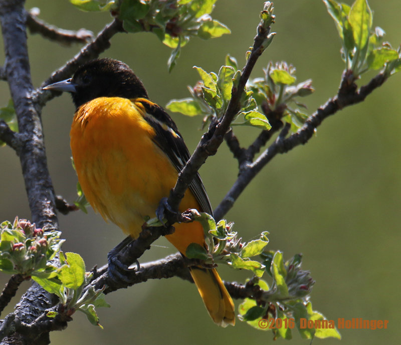 Baltimore Oriole still developing his color