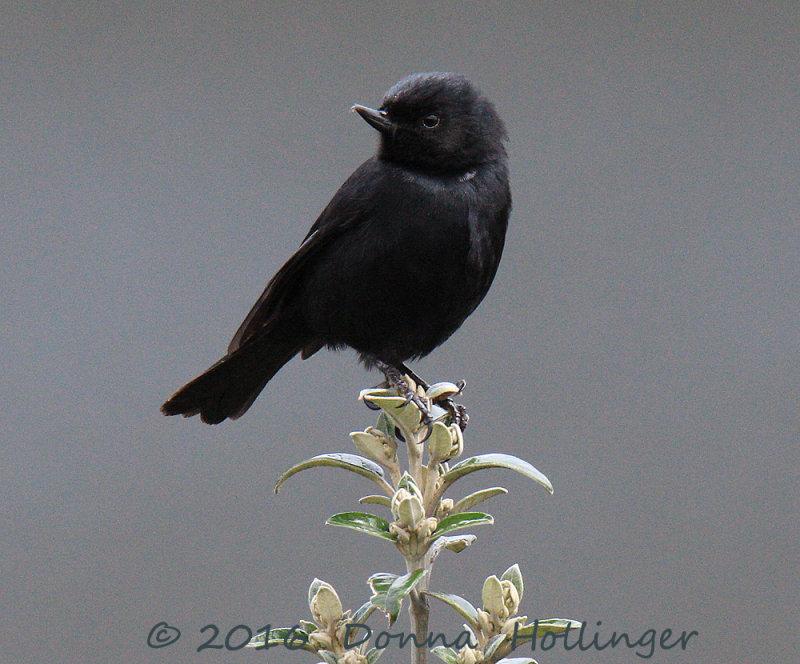 Black Flower Piercer