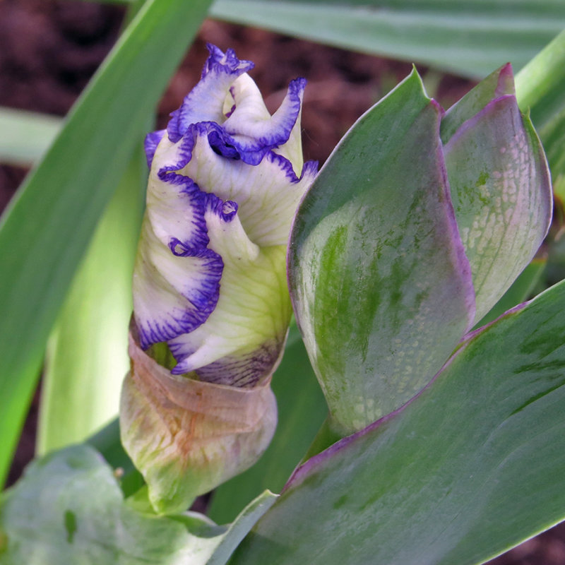 Fringed Iris Before opening