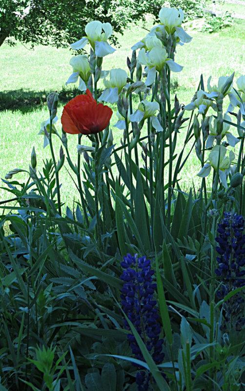 Poppy, Iris and Lupine