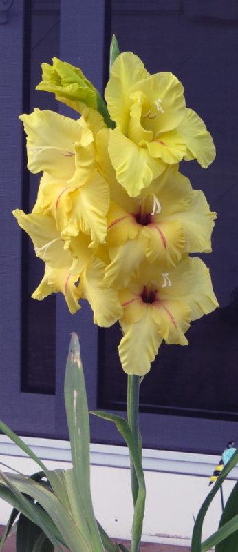 Yellow Gladiolus on Deck