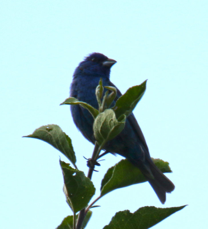 Indigo Bunting Ontop of the Apple Tree