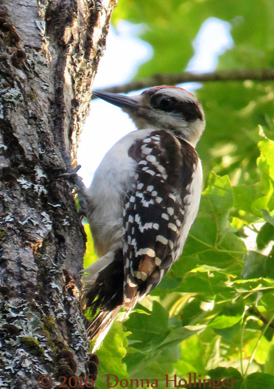 A hairy woodpecker immature