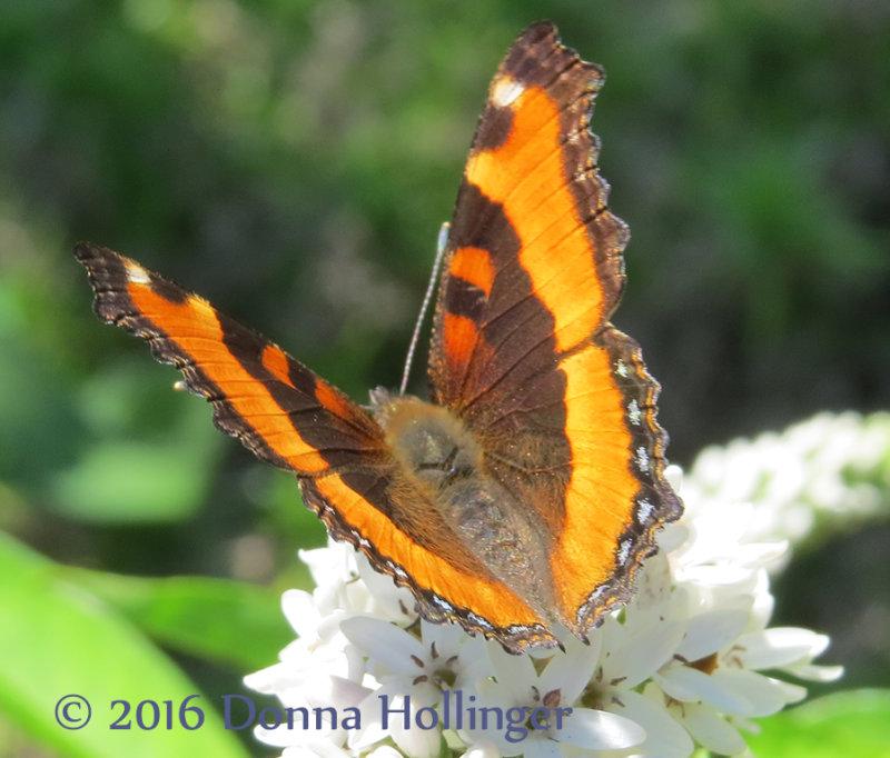 Milberts Tortoiseshell Butterfly