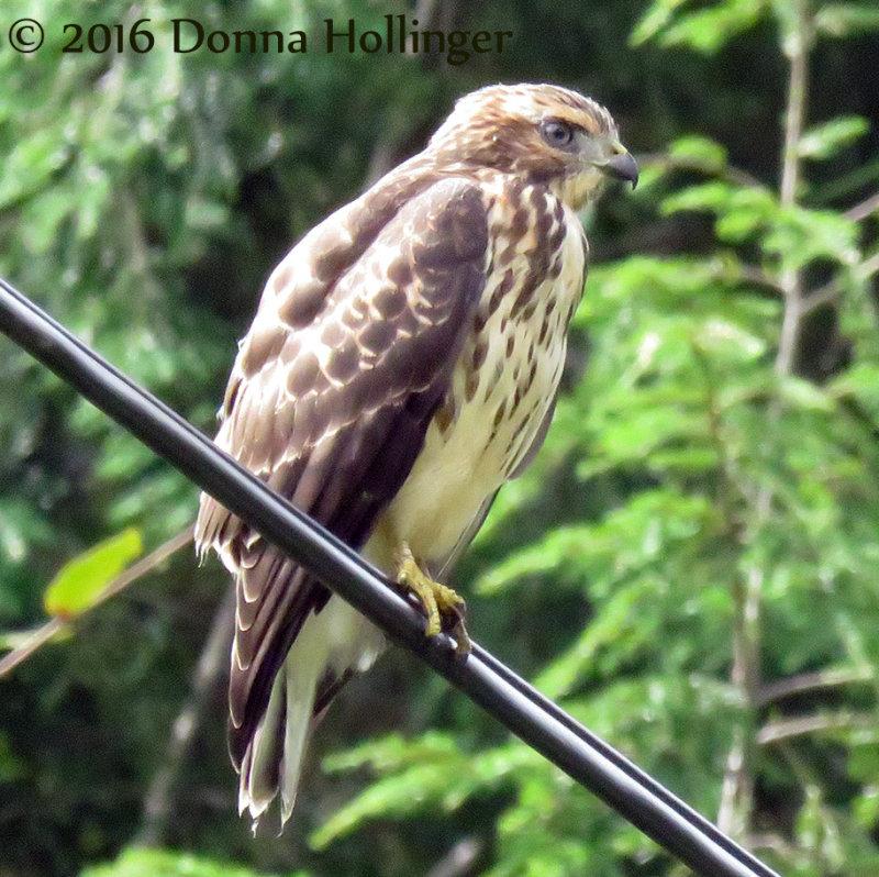 Broad Winged Hawk Immature