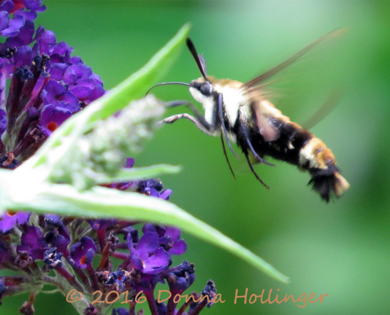 Hummingbird Moth - Clearwing
