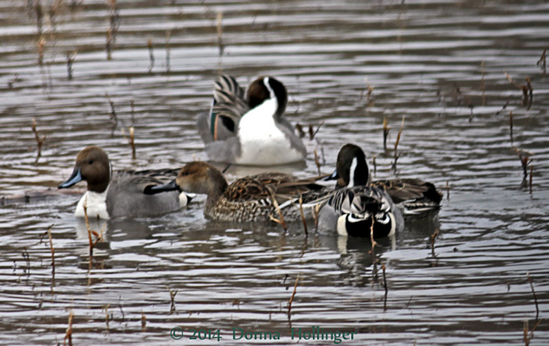 Five Northern Pintails Grooming