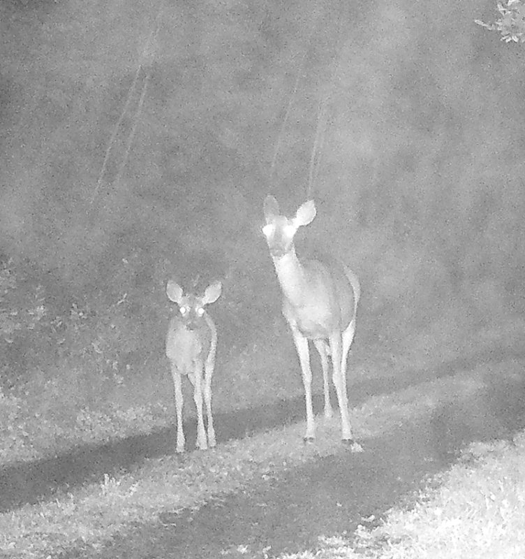 Mother and Fawn in the driveway
