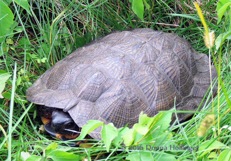 Wood Turtle on Route 132 Norwich, VT